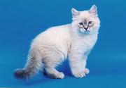 Куплю сибирского котенка